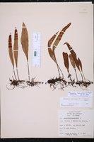 Pleopeltis lanceolata image