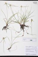 Cyperus richardii image