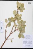 Image of Boscia senegalensis