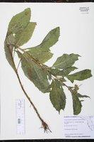 Crassocephalum crepidioides image