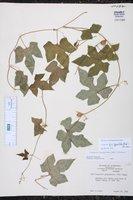 Cayaponia quinqueloba image