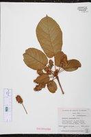 Image of Sterculia tragacantha