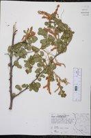 Image of Mimosa spirocarpa
