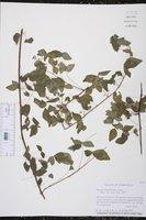 Image of Oxalis rhombifolia