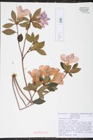 Rhododendron indicum image