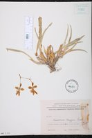 Gomesa longipes image