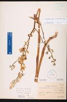 Image of Cyrtopodium flavum