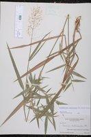 Dichanthelium scabriusculum image