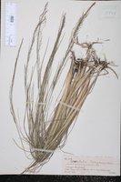 Muhlenbergia torreyana image