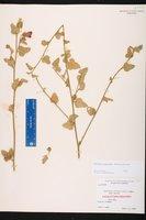 Hibiscus poeppigii image