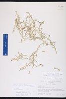 Selaginella apoda var. ludoviciana image