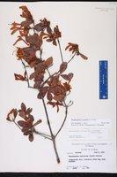 Rhododendron viscosum image