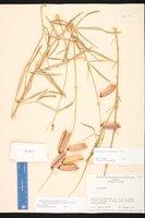 Crotalaria ochroleuca image