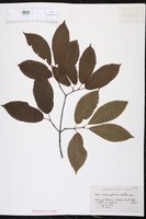 Acer carpinifolium image