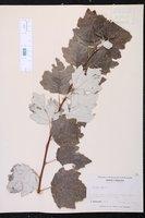 Populus alba image