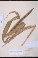 Cenchrus americanus image