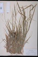 Leersia monandra image