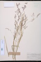 Image of Agrostis bourgaei
