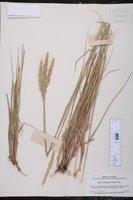 Calamagrostis densa image