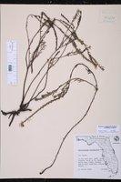 Euploca polyphylla image