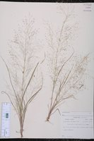 Eragrostis capillaris image