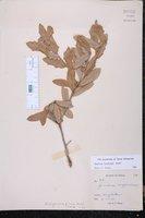 Quercus fusiformis image
