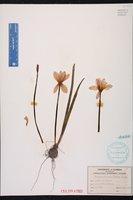Zephyranthes rosea image