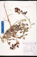 Crotalaria retusa image