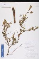 Hypericum apocynifolium image