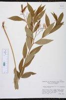 Amsonia tabernaemontana var. salicifolia image