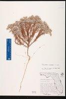 Polycarpaea corymbosa image