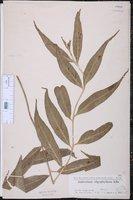 Asplenium oligophyllum image