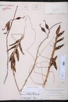 Epidendrum radicans image