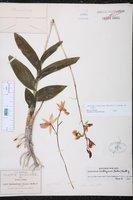 Barkeria lindleyana image