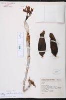 Guarianthe aurantiaca image