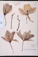 Cattleya trianae image