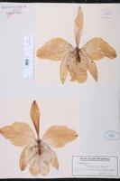 Cattleya mossiae image