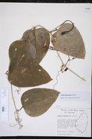 Smilax guianensis image