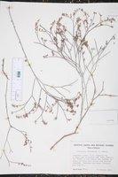 Eriogonum deserticola image