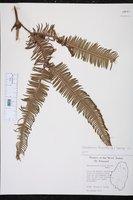 Image of Gleichenia furcata