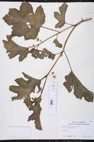 Image of Solanum aethiopicum
