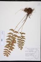 Asplenium salicifolium image