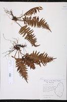 Trichomanes alatum image