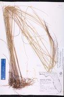 Muhlenbergia capillaris var. filipes image