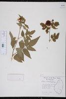 Rubus rosifolius image