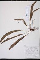 Image of Elaphoglossum dussii