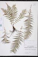 Thelypteris consanguinea image