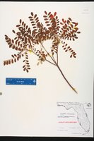 Alvaradoa amorphoides image