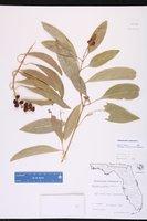 Citharexylum spinosum image