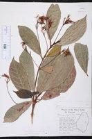 Gesneria ventricosa subsp. cymosa image